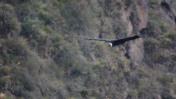 Censo Nacional del Cóndor Andino en Ecuador